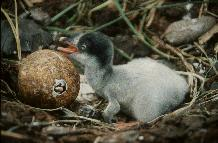Gentoo penguin (Pygoscelis papua) chicks, one about to emerge from shell.