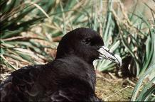 White-chinned Petrel ( Procellaria aequinoctialis ) sitting outside nesting burrow