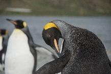 King Penguin, King Edward Point, South Georgia