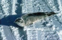 Crabeater Seal pup (Lobodon carcinophagus). Despite their name Crabeater seals eat krill predominately