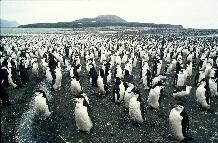 Chinstrap penguins ashore to moult on Candlemas Island, South Sandwich Islands