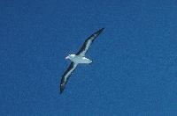 Black browed Albatross in flight close to South Georgia