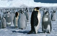 Emperor penguins (Aptenodytes forsteri) on the sea ice close to Halley Research Station on the Brunt Ice Shelf. The young Emperor chicks are moulting.