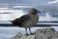 South Polar Skua. Breeds on the Antarctic continent from September-April and winters in the Pacific, Indian and Atlantic Oceans.