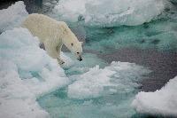 Polar Bear (Ursus maritimus) on sea ice in the Fram Straight 79 degrees north Norwegian Cruise.