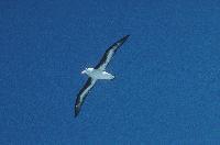 Black browed Albatross in flight close to South Georgia