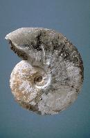 Fossil ammonite - Cretaceous