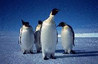 Emperor penguins (Aptenodytes forsterion) on the sea ice at Drescher Inlet, Brunt Ice shelf, Antarctica