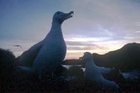 Wandering Albatross at sunset on Wanderer Ridge, Bird Island