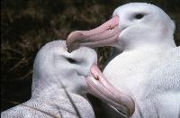 Adult female (left) and male (right) Wandering Albatross (Diomedea exulans) sitting at nest site prior to starting breeding.